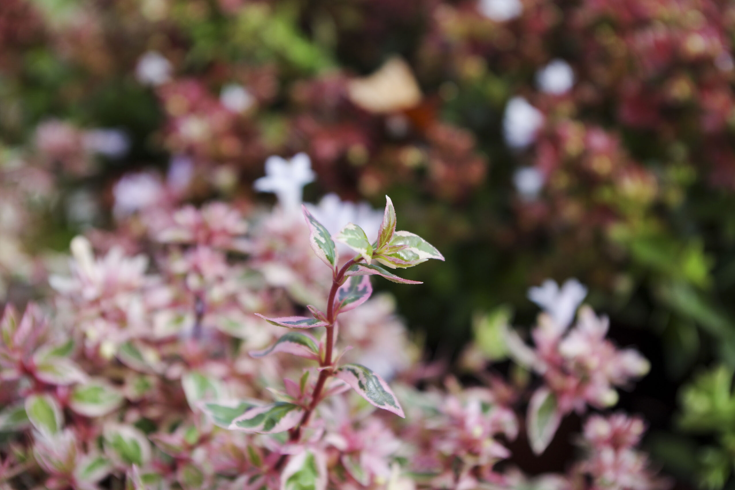 photo fleur rose et blanche